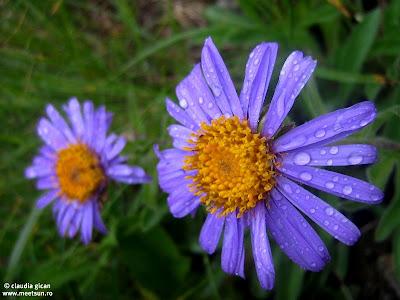 flori mov de munte, Ochiul Boului
