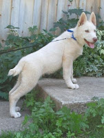 - Male - Wolf Hybrid Puppy for sale Mackenzie Valley and Timber Wolf