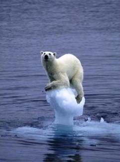 Polar bear with no ice