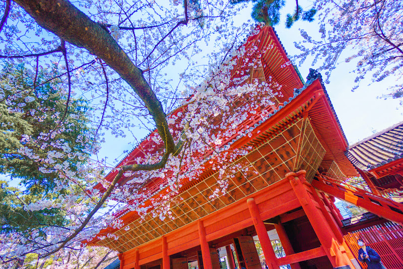 増上寺 桜 写真 4