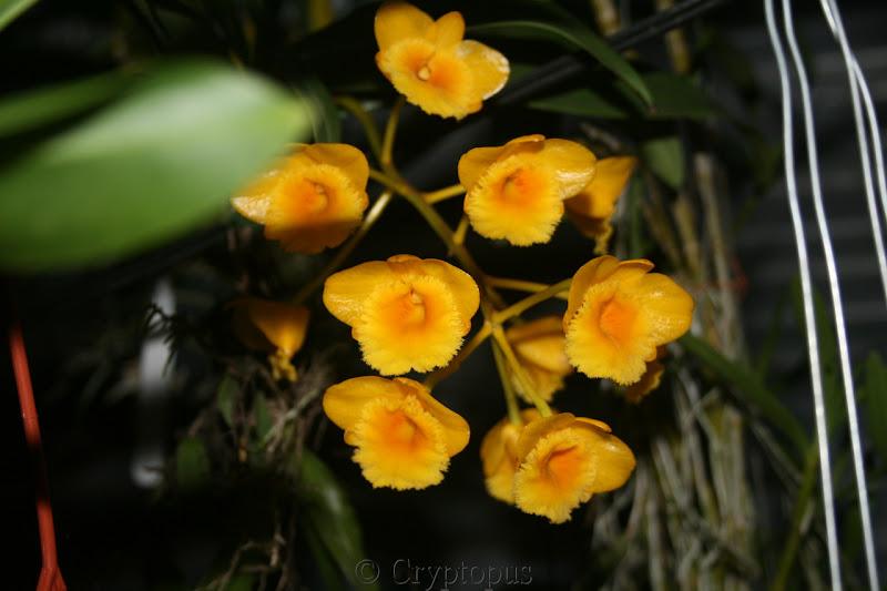 Dendrobium chrysotoxum IMG_3610