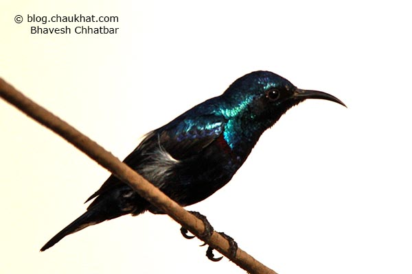 Shining plumage of male Purple Sunbird [Cinnyris asiaticus]