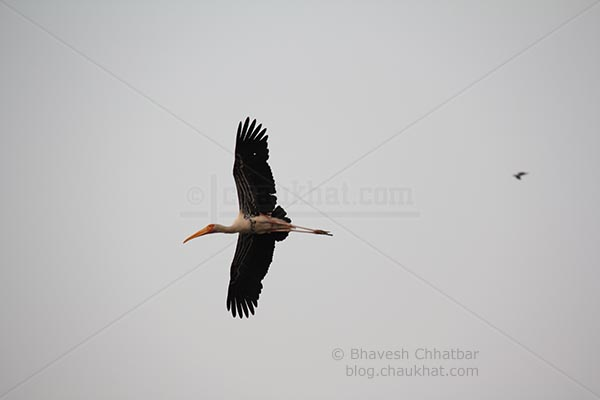 Painted stork with bottom view