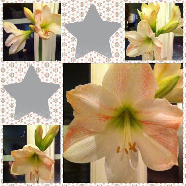 Den lykkelige hagen helgeglede et nytt bekjentskap for Amaryllis sweet pink