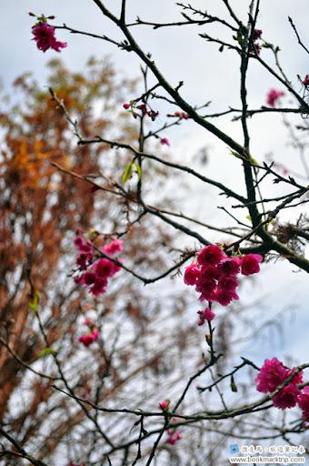 芬園花卉生產休憩園區 - 八重櫻