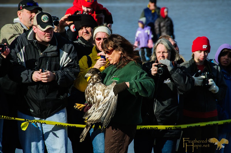 "Spectators at the Eagle Release held at Sauk Prairie's Bald Eagle Watching Days 2013 got ""up close and personal"" with 1 of 4 rehabilitated eagles released that day."