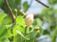 https://lh5.googleusercontent.com/-YU9RxIcQkF8/T4VLcwbww-I/AAAAAAAAAW0/Rd300_f_0Sk/s1600/White+Orchid+Tree+-+Bud.jpg