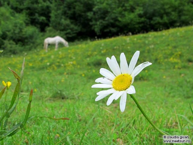 un cal alb si-o margareta