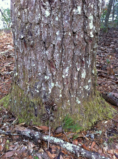 Loblolly pine - rougher bark, longer needles in bundles of 3 and cones ...