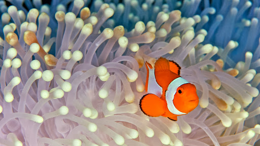 False Clown Anemonefish, Indonesia.jpg