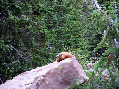 The first marmot I'd ever seen