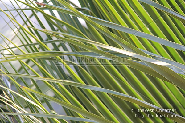 Leaves of a coconut tree