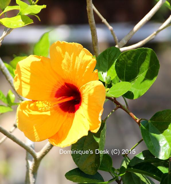 Yellow Hibicus
