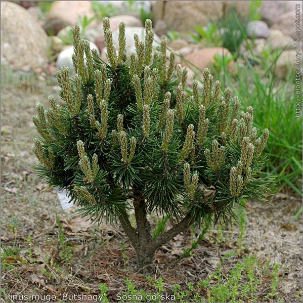 Pinus mugo 'Butshagy' - Sosna górska pokrój