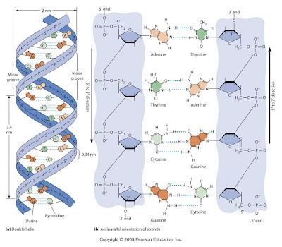 Kode genetik kedua yang tersembunyi ditemukan di dalam ADN