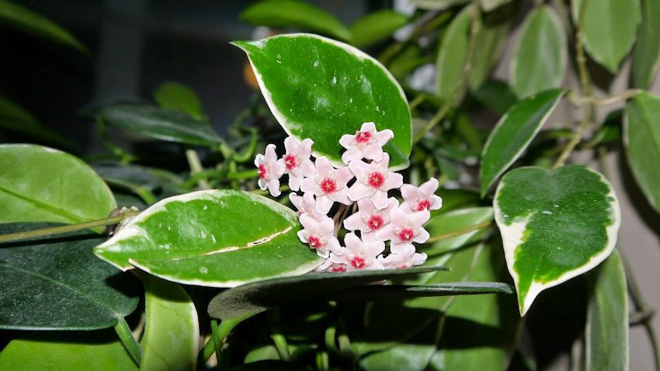 Hoya Carnosa Var Variegata Cv Tricolor в дуэте с Multiflora