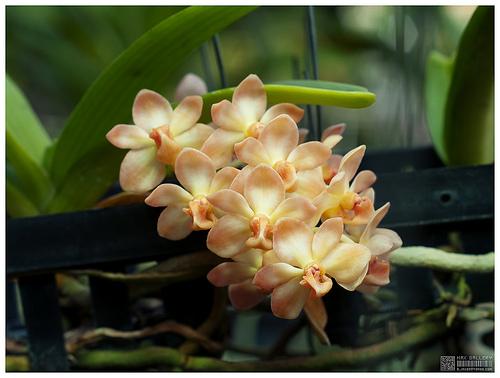 Растения из Тюмени. Краткий обзор - Страница 9 Rhynchostylis%252520gigantea%252520peach2