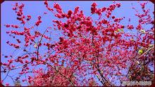 草坪頭玉山觀光茶園-八重櫻綻放美景