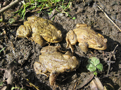 Common Toads in formation.