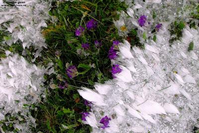 flori mov, flori de gheata