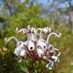 Grey Spider Flower (Grevillea Buxifolia) (355307)