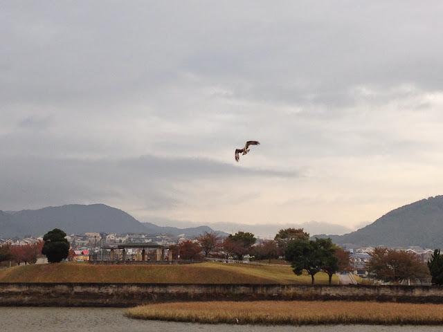 ミサゴ(猛禽類)竹馬川河口を飛ぶ