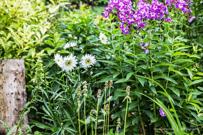 Leucanthemum Santé Leucanthemum-sante-phlox-laura-130814-21-rm