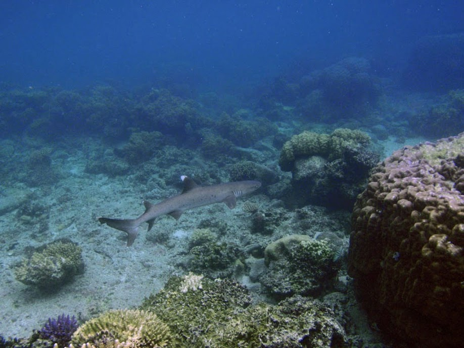 Triaenodon obesus (White Tip Reef Shark), Naigani Island, Fiji.