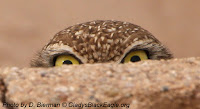 Burrowing owl peeking over a rock.