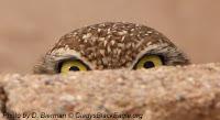 Burrowing owl peeking over a rock.