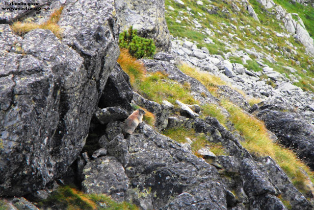 faună în Retezat, marmota