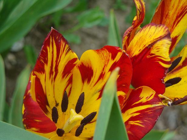 тюльпаны как огонь