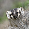 stealthbadger