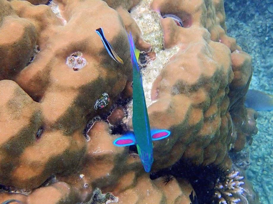 Thalassoma lunare (Lunare Wrasse), Miniloc Island Resort reef, Palawan, Philippines.
