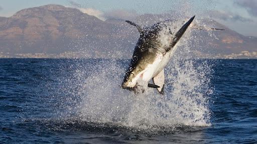 Great White Shark Feeding, South Africa.jpg