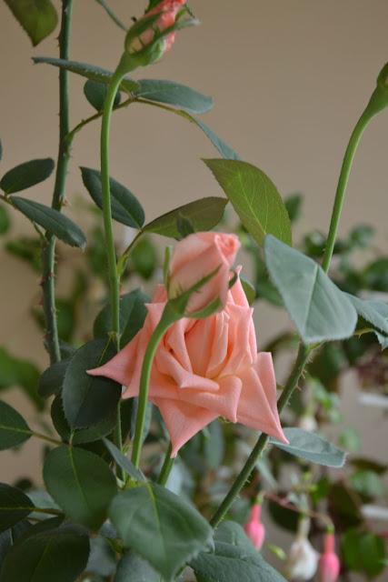 Розы в комнатной культуре - Страница 5 Dsc2445p