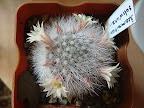 Наши кактусы - Страница 24 Mammillaria%2520schwarzii