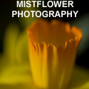 Mistflower Photo