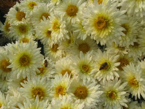 Chrysanthemum Magick