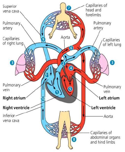 Sistem Transportasi (6) : Alat peredaran darah manusia 3