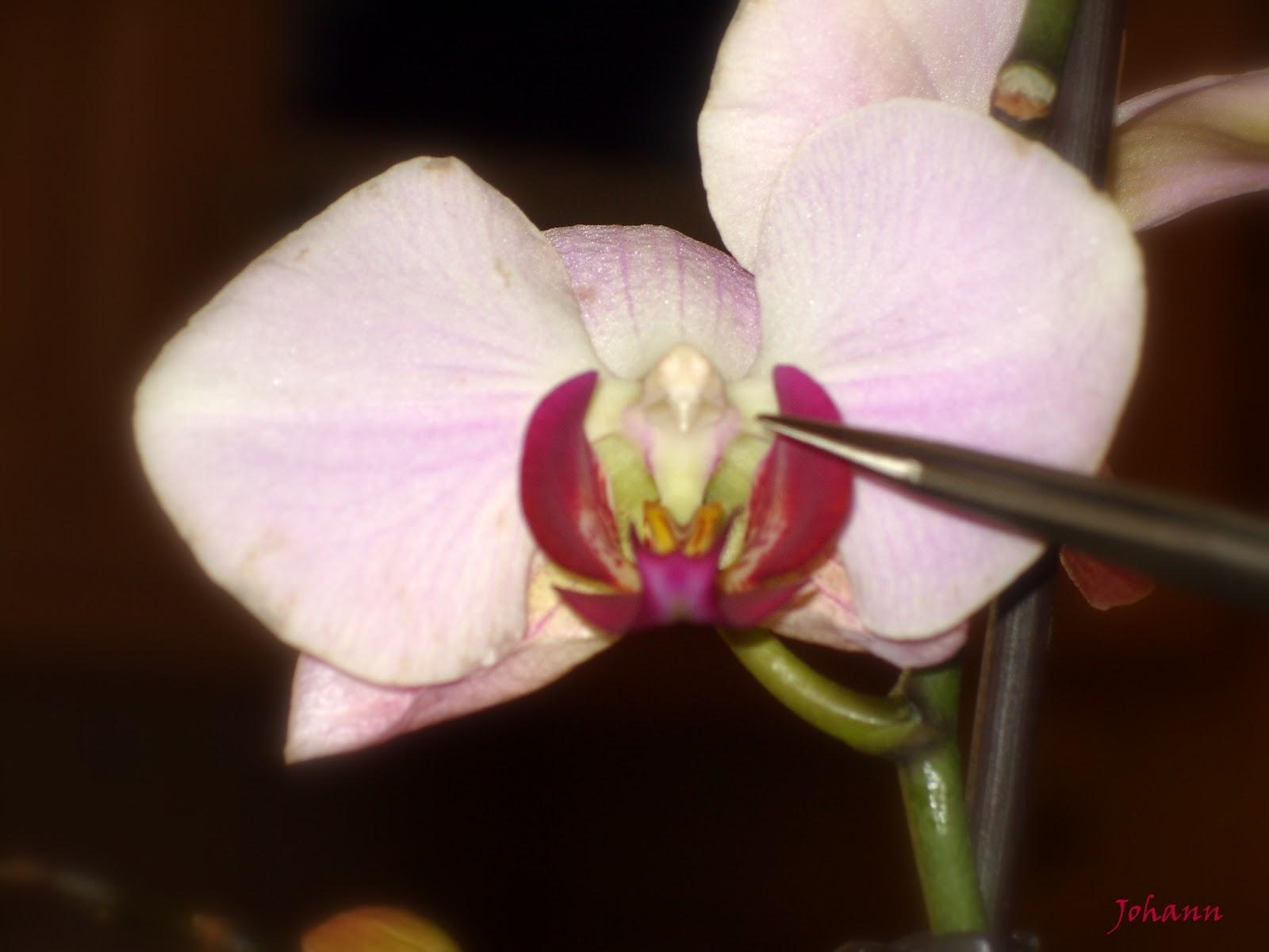orchidee un ou une