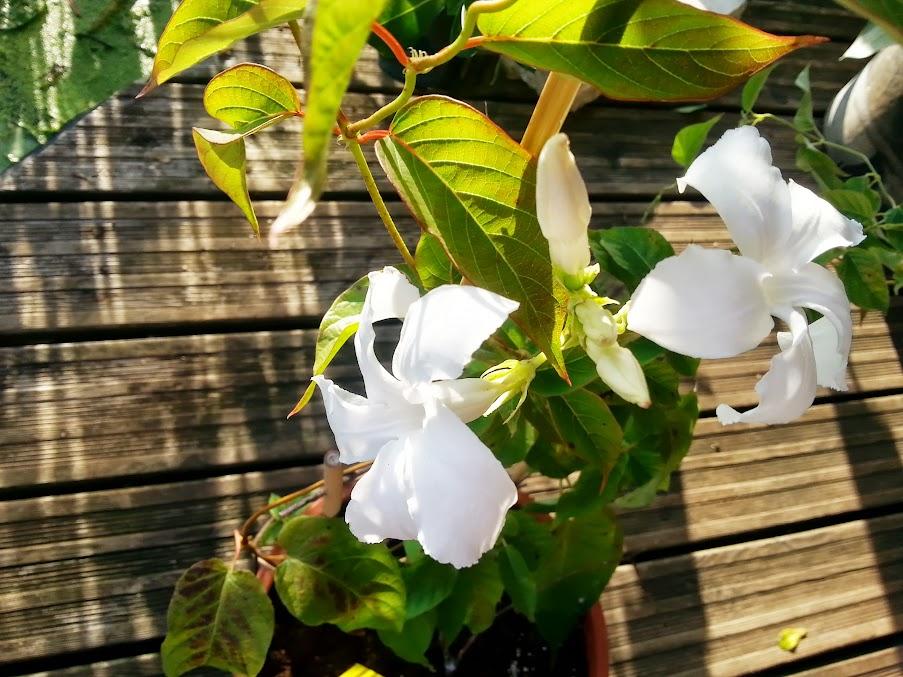 floraisons du mois - Page 5 20130820_185910
