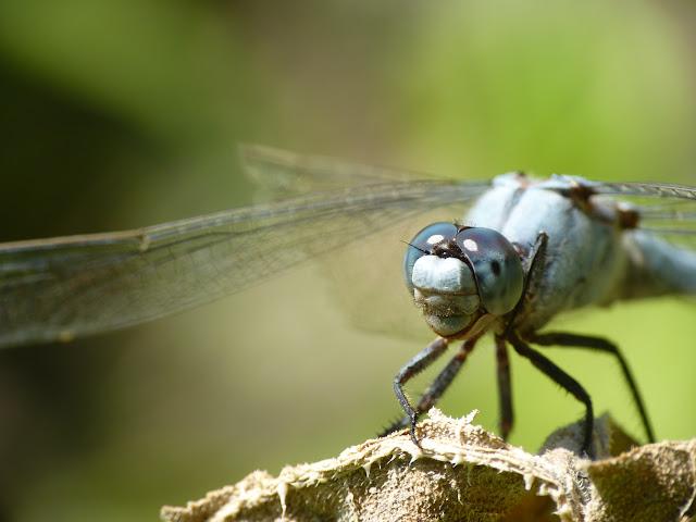 Petite serie de libellules et de de demoiselles! P1120756