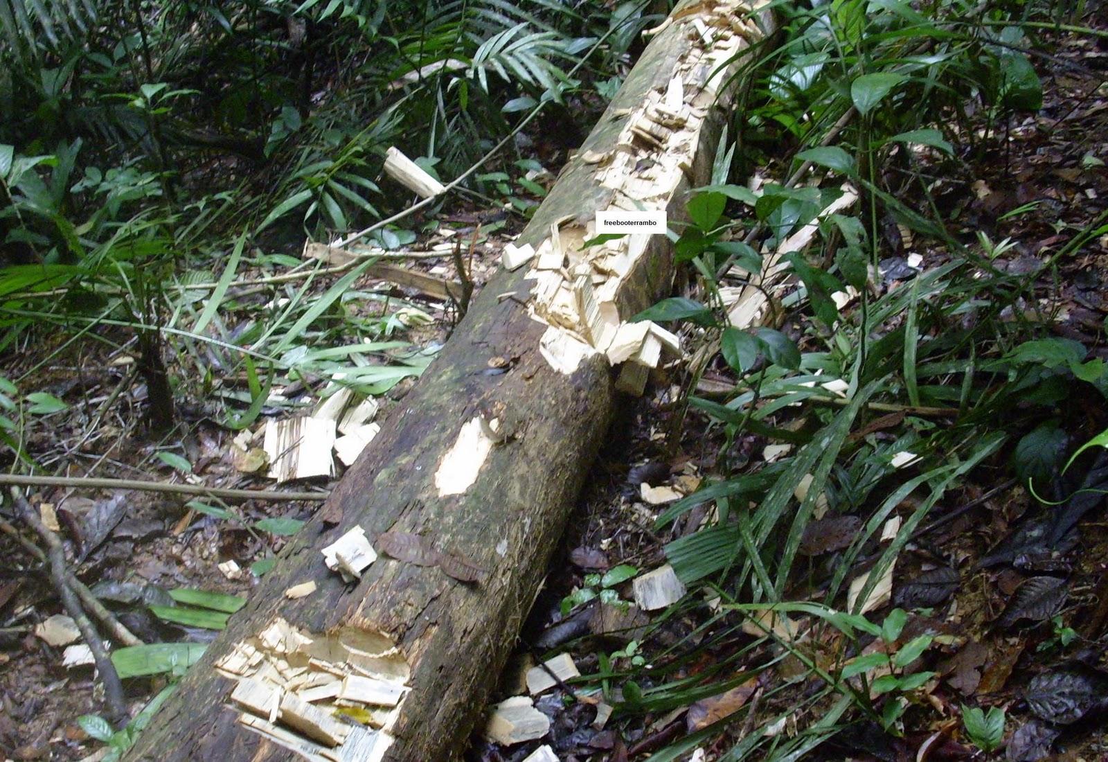 Pokok Gaharu Hutan Batang Pokok Kayu Gaharu