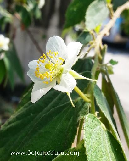 Muntingia calabura, Malayan Cherry flower