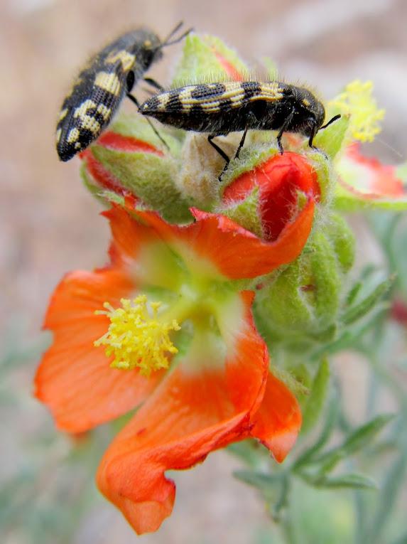 Bugs on globemallow