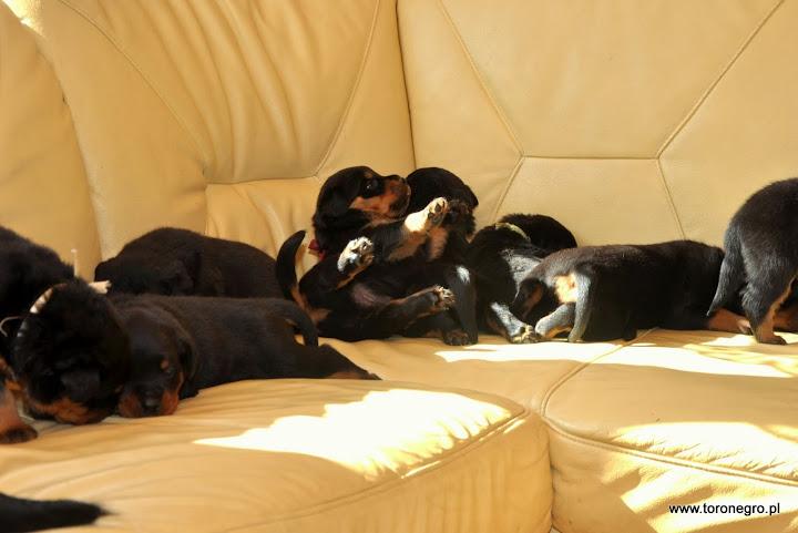 Rottweilery sprzedam użytkowe