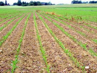 semis de maïs - Page 8 P6100070