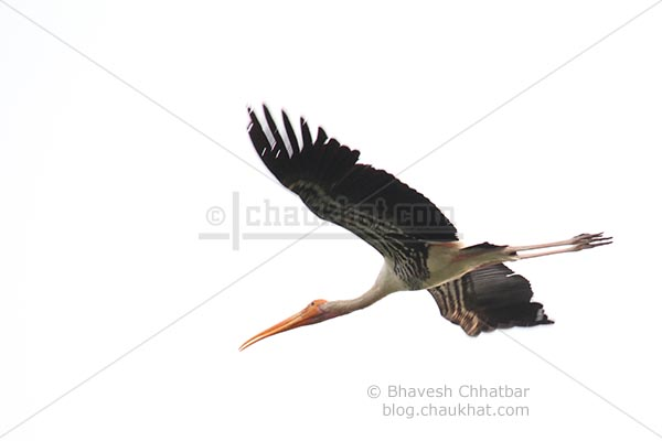 Painted stork flying downwards