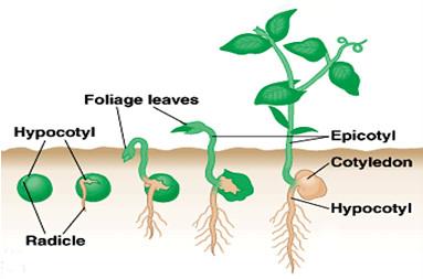 FastStoneEditor Pertumbuhan dan Perkembangan (1) : Pertumbuhan dan Perkembangan pada Tumbuhan